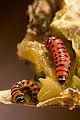 Cactoblastis cactorum larvae.jpg