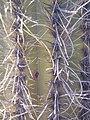Cactus (Isla Incahuasi, Uyuni, Bolivia) (36164652234).jpg