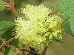 Paraserianthes lophantha wikipedia la enciclopedia libre - Caesalpinia gilliesii cultivo ...