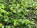 Caiman crocodilus Costa Rica 1.jpg