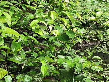 Caiman crocodilus Costa Rica 1