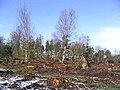 Calderwood Wood - geograph.org.uk - 371400.jpg