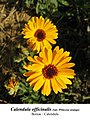 Calendula officinalis 1.1.jpg