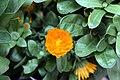 Calendula officinalis Bon Bon Mix 0zz.jpg