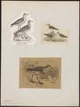 Calidris arenaria - 1700-1880 - Print - Iconographia Zoologica - Special Collections University of Amsterdam - UBA01 IZ17400281.tif