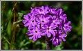 California Wildflowers 2015 (101213313).jpeg