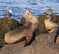 California sea lions in La Jolla (70402) closeup.jpg