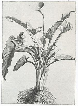Guy de La Brosse - Calla aethopica, drawn Abraham Bosse, 1640