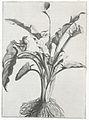 Calla Aethopica by Abraham Bosse 1640.jpg