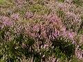 Calluna vulgaris 006.jpg