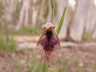 <i>Calochilus</i> genus of plants