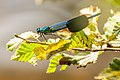 Calopteryx splendens-pjt.jpg
