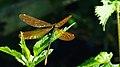 Calopteryx virgo auf Brennnessel.jpg