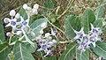 Calotropis gigantea flowers (1).jpg