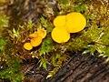 Calycina citrina 106187716.jpg