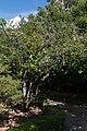 Camélia du Japon-Camellia japonica-Monção-20140911.jpg