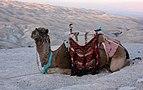 Camel in desert.JPG