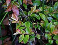 Camellia lutchuensis 04.jpg