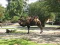 Camelus bactrianus in Zoo Krefeld (1).JPG
