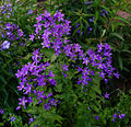 Campanula lactiflora 'Border Blues'.jpg