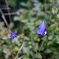 Campanules à feuilles rondes-Campanula rotundifolia-Fleurs-Tourbière flottante-20141011.jpg