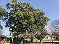 Camphor tree in Hachiman Shrine near Zendoji Temple.jpg