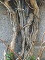 Campsis grandiflora 02.JPG