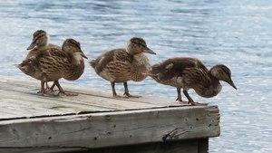 File:Canard colvert femelle et ses petits (Lac Archambault, Qc).webm