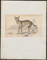 Canis senegalensis - 1833-1866 - Print - Iconographia Zoologica - Special Collections University of Amsterdam - UBA01 IZ22200119.tif