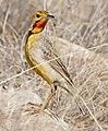 Cape Longclaw (Macronyx capensis) (31320650481).jpg