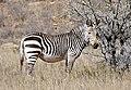 Cape Mountain Zebra (Equus zebra zebra) (32188699440).jpg
