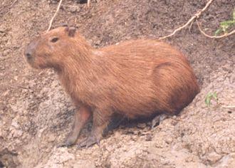 Caviomorpha - Capybara