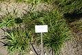 Carex pilulifera - Bergianska trädgården - Stockholm, Sweden - DSC00546.JPG
