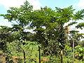 Carica papaya 15.JPG