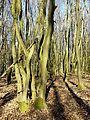 Carpinus betulus sl4.jpg