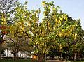 Cassia fistula (Amaltas) in Hyderabad W IMG 8176.jpg