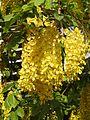Cassia fistula flowers by Dr. Raju Kasambe DSCN4427 03.jpg