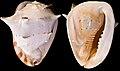 Cassis cornuta5.jpg