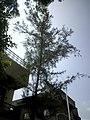 Casuarina equisetifolia (Australian Whistling Pine) at Amravati, Maharashtra3.jpg
