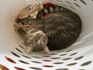 English: Milo the cat in a laundry basket bein...