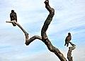 Cathartes aura -Santa Teresa County Park, San Jose, California, USA-8a.jpg