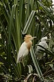 Cattle egret (Bubulcus ibis) from Ranganathittu Bird Sanctuary JEG4310.JPG