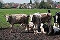 Cattle near Bracken Lane - geograph.org.uk - 781914.jpg