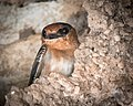 Cave Swallow (24145023757).jpg