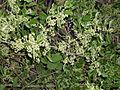 Celastrus orbiculatus 5501274.jpg