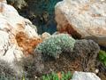 Centaureahorrida.png
