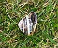 Cepaea hortensis – White-lipped Snail (33583271306).jpg