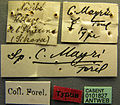 Cerapachys mayri casent0101827 label 1.jpg