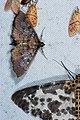 Ceratarcha umbrosa (33138703010).jpg