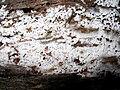 Ceratiomyxa fruticulosa 45260.jpg